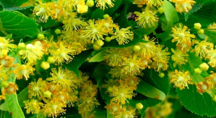 Соцветия липы