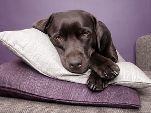 собака вялая и постоянно спит