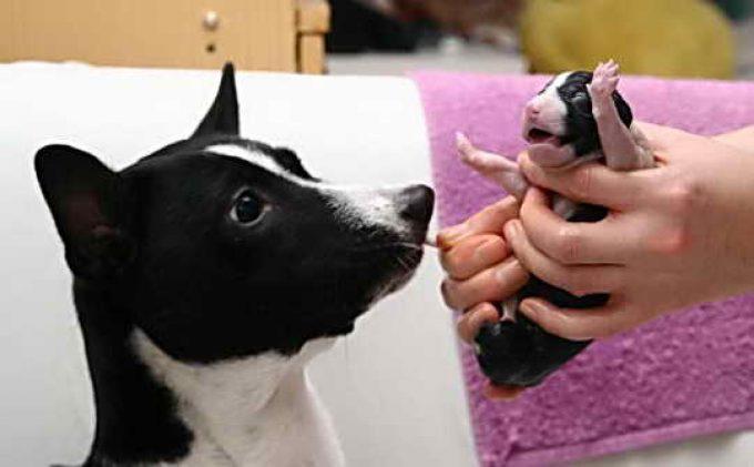 реация собаки на рождение своего щенка
