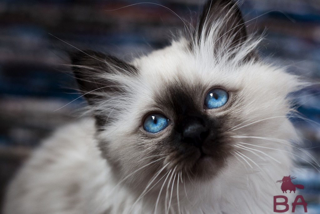 Священная Бирманская кошка: одна из самых красивейших пород