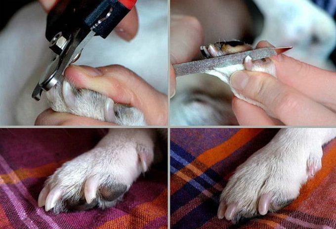 что делать, когда собака сломала коготь