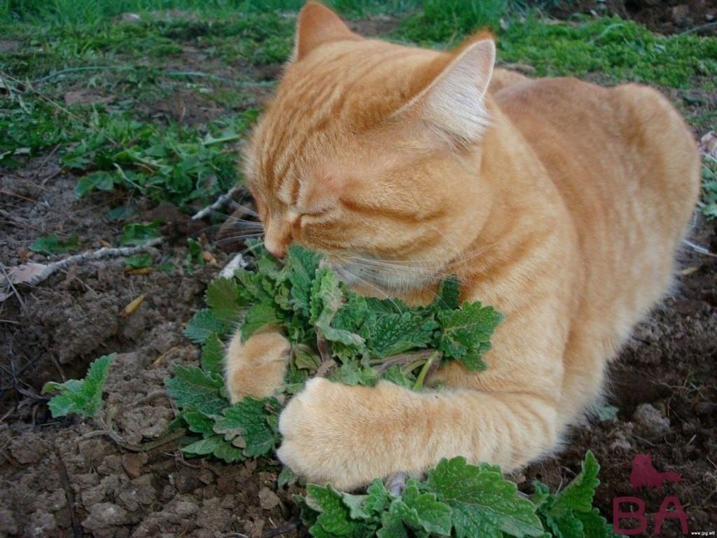 Что такое кошачья мята и почему её любят кошки