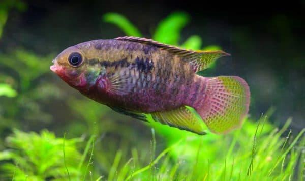 Акара красивая рыбка