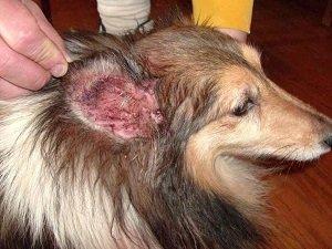 у собаки болят уши трясет головой