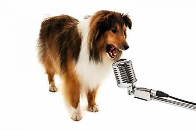 колли подает голос в микрофон