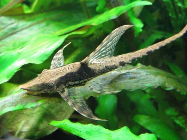Стурисома панамская - необычный сомик в аквариуме