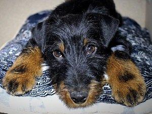 ягдтерьер собака фото