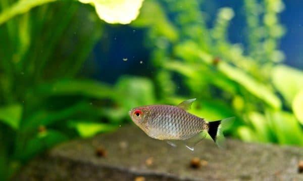 Филомена - чудесная аквариумная рыбка