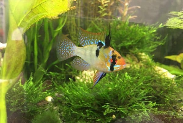 Красивая рыбка Апистограмма Рамирези