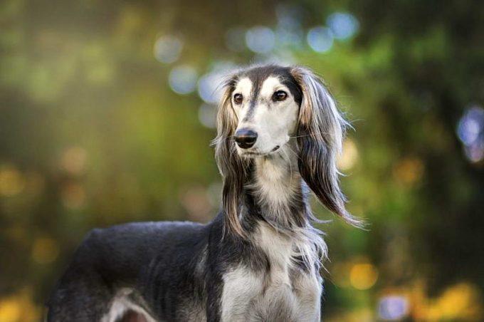 описание породы собак салюки