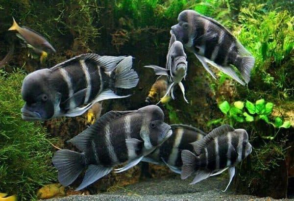 Фронтоза рыбка