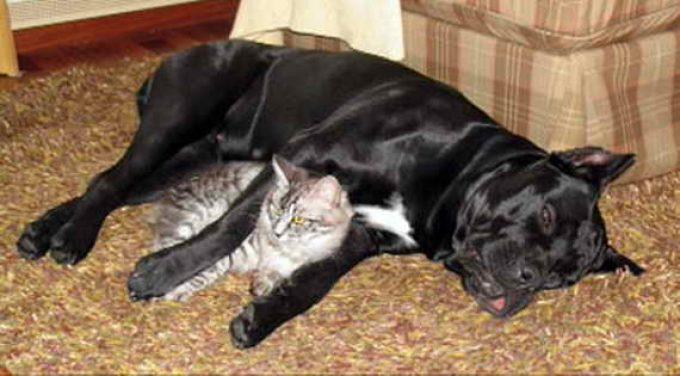 мощный кане корсо и кошка