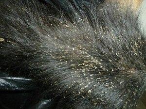 власоед у собаки симптомы лечение фото