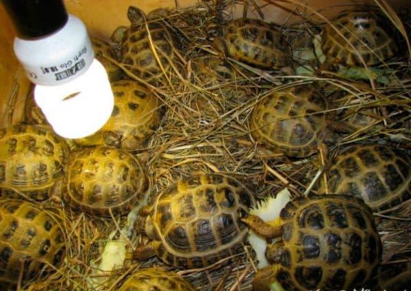 В естественной среде среднеазиатская черепаха