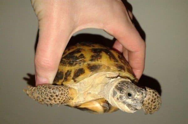 Красивая среднеазиатская сухопутная черепаха