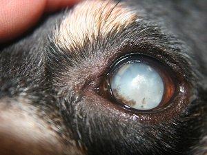 катаракта у собак фото