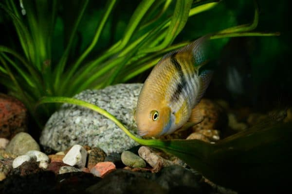 Цихлазома Седжика - безумная рыбка