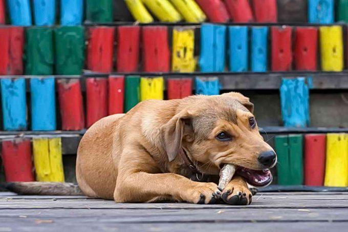 собака грызет мелкую кость