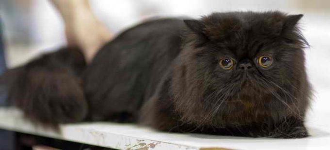 кот черного окраса