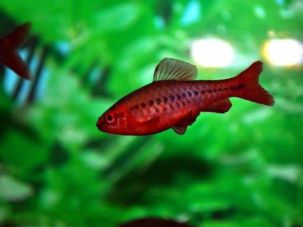 Барбус красивая рыбка