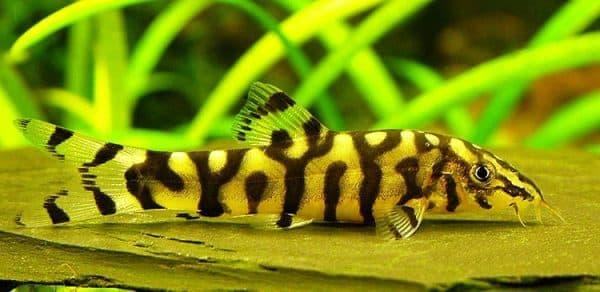 Боция мраморная красивая рыбка