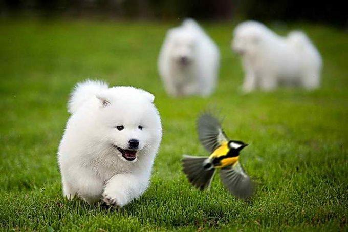щенок белый и пушистый