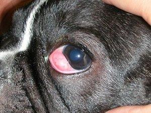 воспаление третьего века у собак