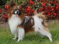 папильон собака