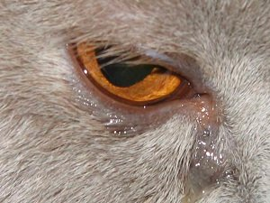 у собаки слезятся глаза причины