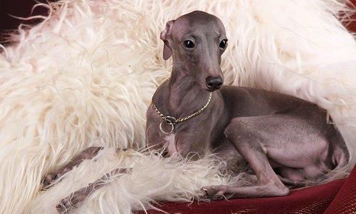 самые маленькие породы собак фото