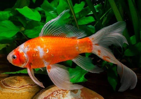 Комета аквариумная рыбка размножение