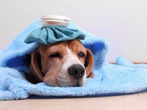 признаки простуды у собаки