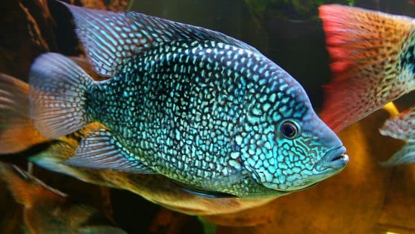 Цихлазома бриллиантовая описание рыбки