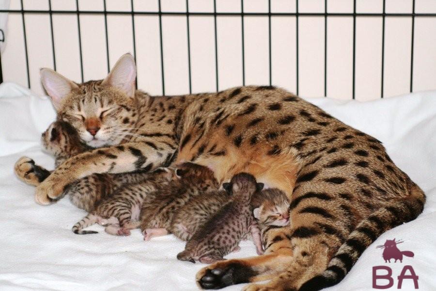 Ашера: самая дорогая порода кошек в мире