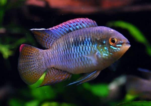 Акара невероятная рыбка