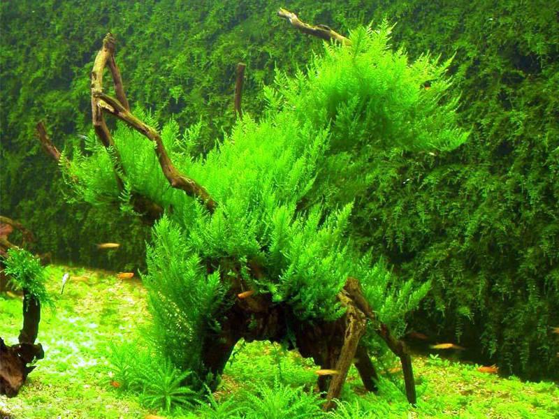 Растение яванский мох в аквариуме