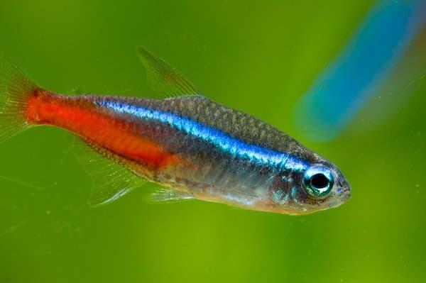 Неоны светящиеся аквариумные рыбки