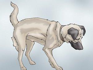 лечение дисплазии тазобедренных суставов у собак