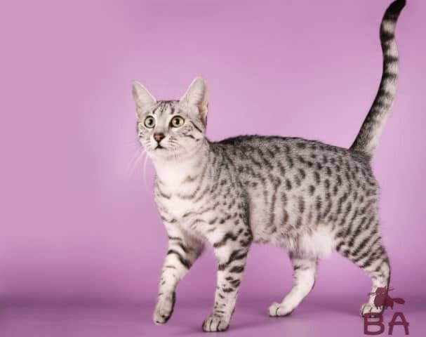 Порода кошек Арабская Мау характер, как ухаживать, особенности питания