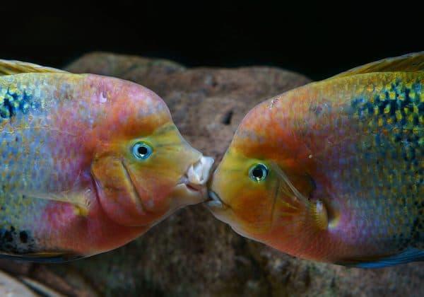 Радужная цихлазома - удивительная рыбка в аквариуме