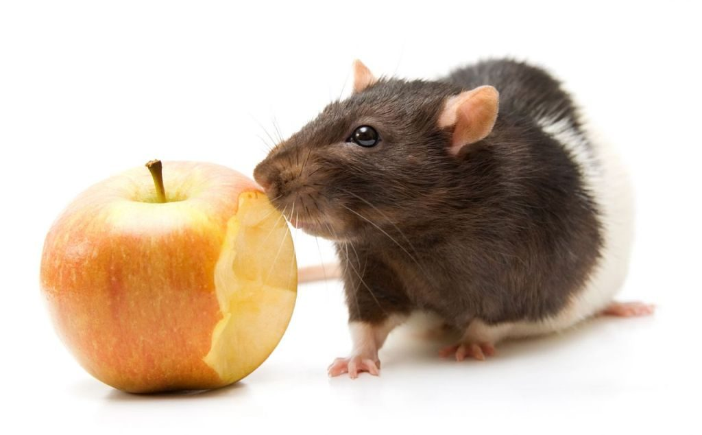 Чем кормить домашнюю крысу фрукты