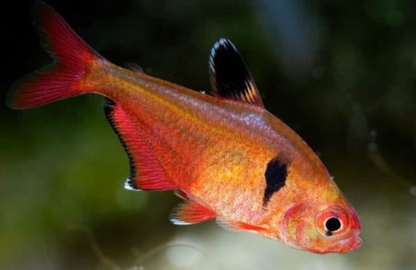 Минор рыбка описание