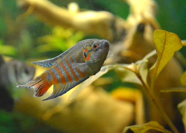 Макропод - прекрасная рыбка