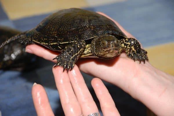 Европейская болотная черепаха на ладошке