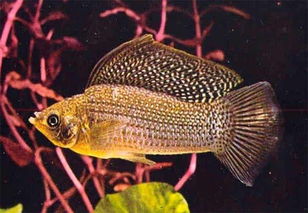 Моллинезия велифера - аквариумная рыбка