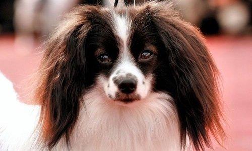 фален порода собак фото
