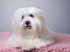 порода собак котон де тулеар