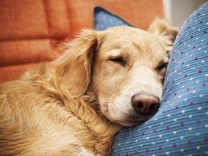 сердечная недостаточность у собак лечение