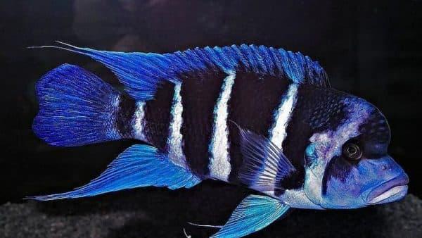 Фронтоза - прекрасная рыбка