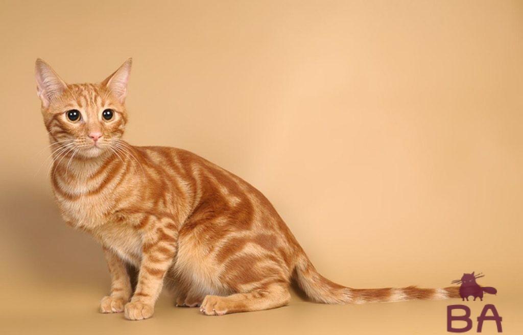 Особенности породы Анатолийской кошки, уход и воспитание